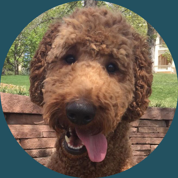 Gusto  Chief Poodle Officer, official mascot, and therapy dog, Gusto helps out the team with snuggles, snoot booping, & learning patience.