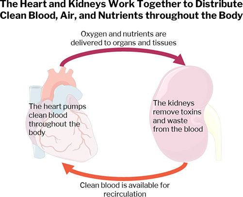 Heart and Kidney_Fig1_for web.jpg