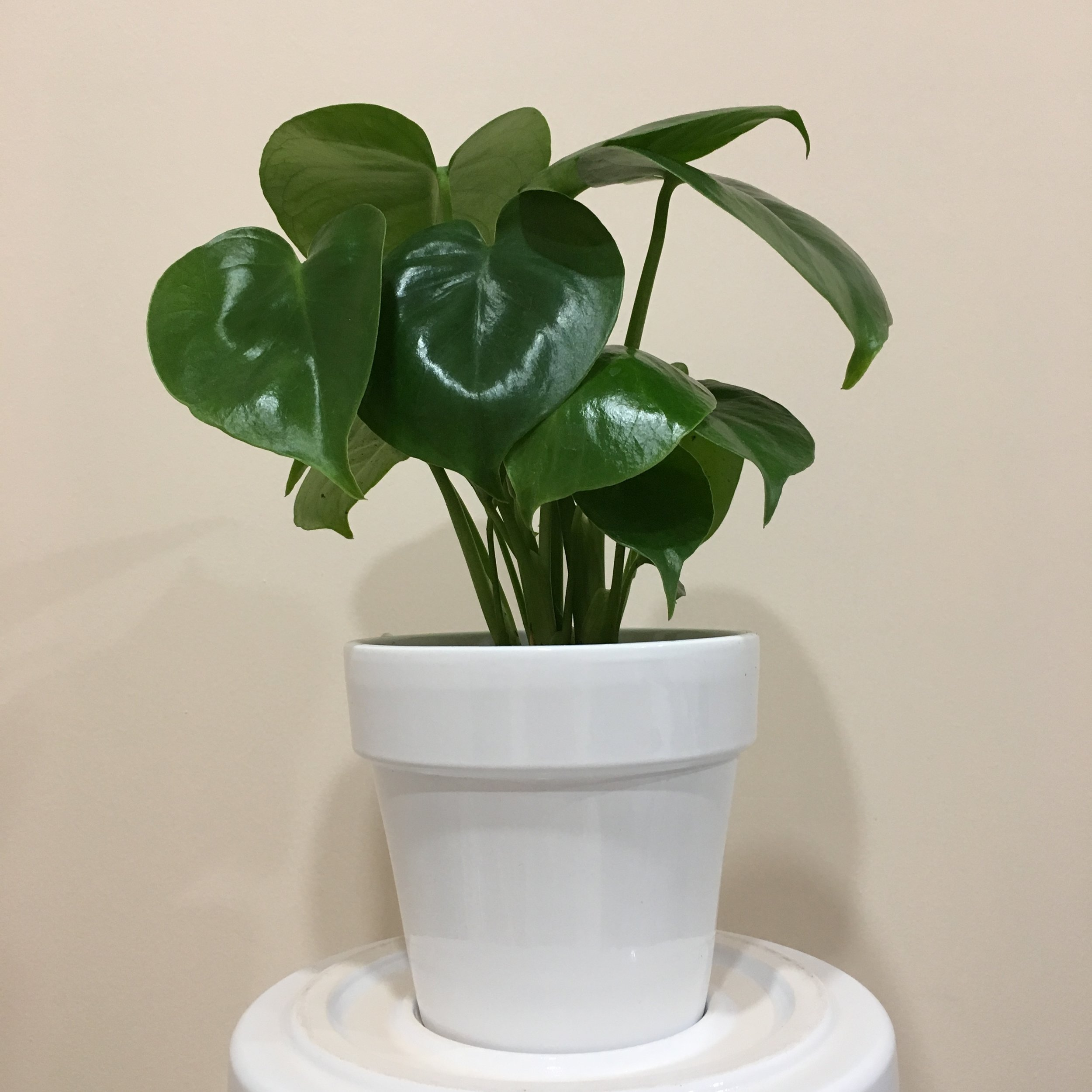 Philodendron Monstera - Light - Bright, indirect light.Water - The soil should be kept moist, allowing it to dry a bit in between watering. Watering can be done once a week to every ten days.Origin - Mexico, PanamaFun Fact - In the jungle, the plant climbs toward the light, crawling up other plants with aerial roots growing from the stem.