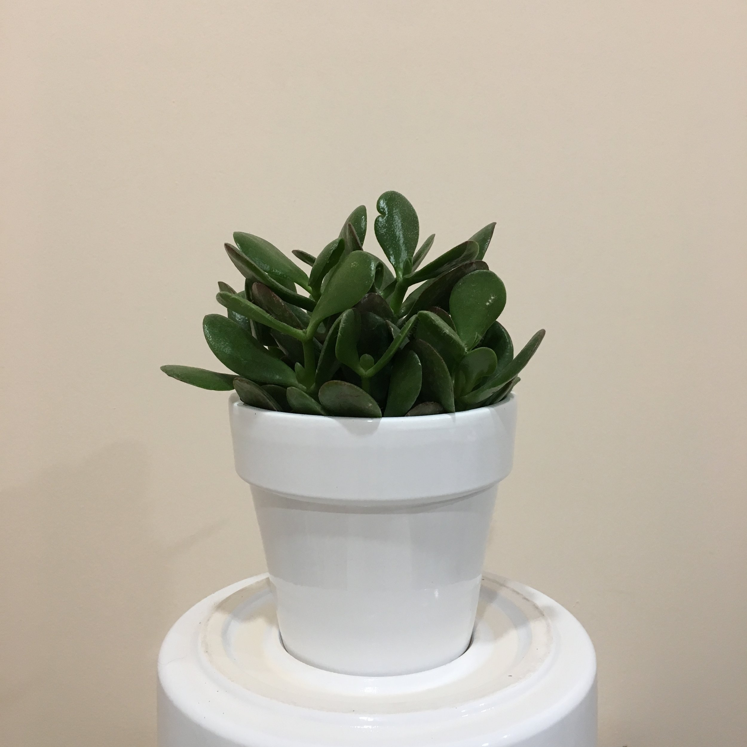 Jade - Light - Bright, direct or indirect light.Water - Jades are part of the succulent family and require minimal watering. Try watering them once every 3 to 4 weeks, allowing the soil to fully drain in between watering.Origin - South AfricaFun Fact - Nicknames for this plant include money plant, money tree, and lucky plant.