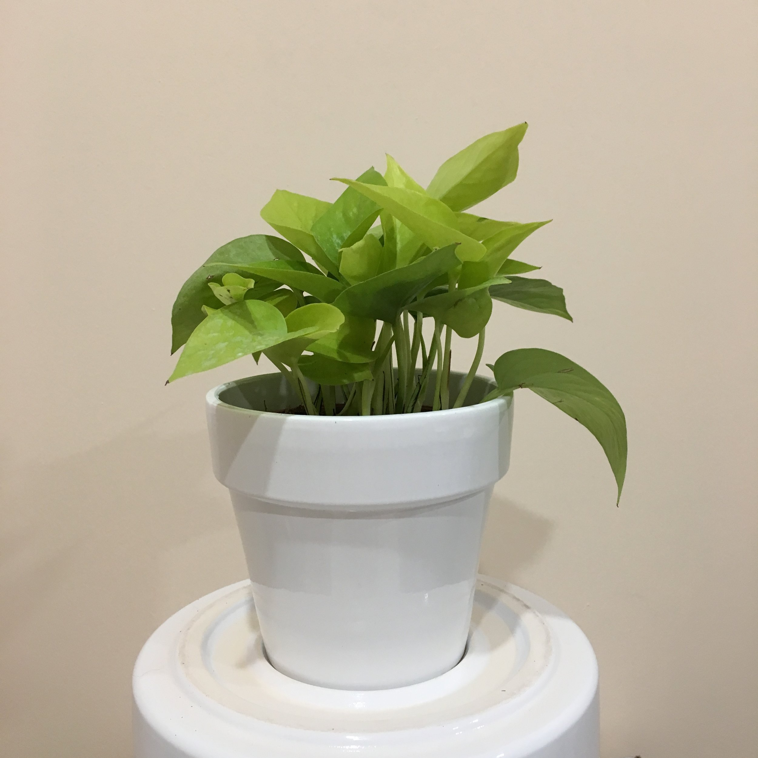 Pothos Neon - Light - Moderate, indirect light.Water - The soil should be kept moist, allowing it to dry a bit in between watering. Watering can be done once a week to every ten days.Fun Fact - The foliage of a neon pothos is sure to brighten any space. This plant is also great for beginners.