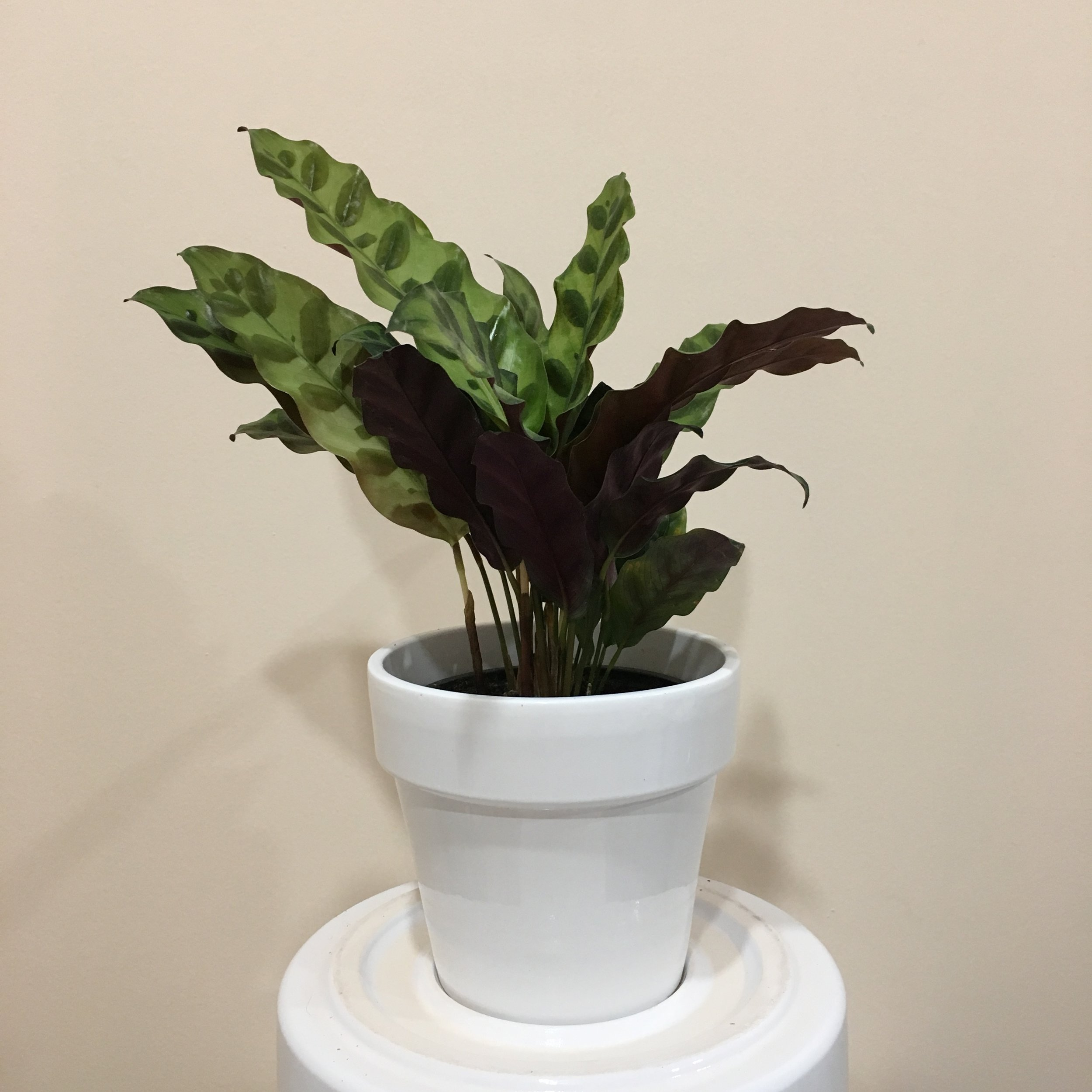 Calathea Rattlesnake - Light - Bright, indirect light.Water - The soil should be kept moist, allowing it to dry a bit in between watering. Watering can be done once a week to every ten days. Calathea rattlesnake also require high humidity, so you can mist the foliage daily.Origin - South AmericaTip - Calatheas are a fantastic plant to purify air, and have eye catching foliage. Calatheas are called 'living plants' because they close their leaves at night. There is a small joint between the leaf and the stem, and different amounts of light move the leaves.