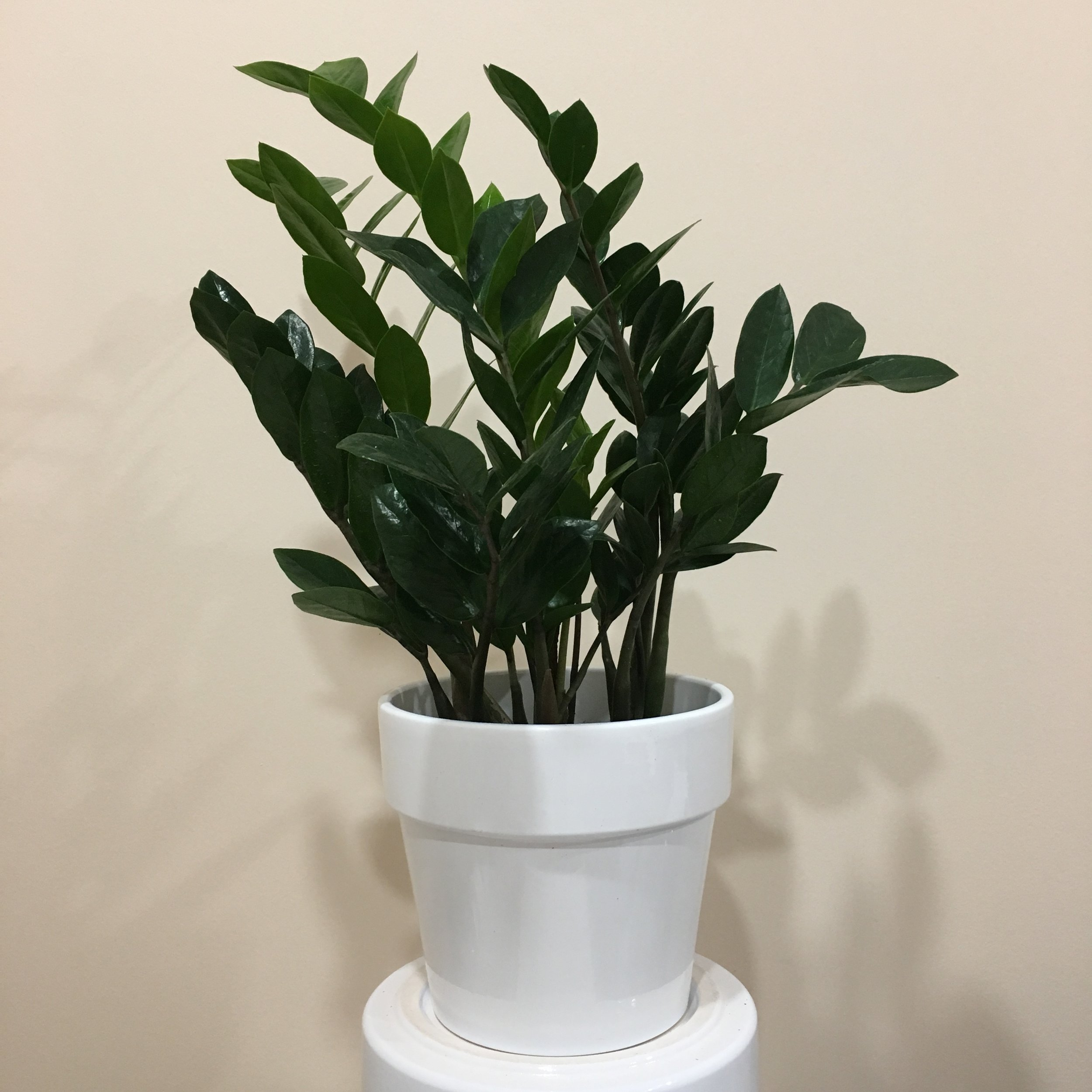 Zz - Light - Low, indirect light.Water - Zz plants only need to be watered once a month. This is because they contain underground rhizomes that can rot easily.Origin - AfricaFun Fact - This is the best plant for beginners, or brown thumbs, due to its low light and water needs.