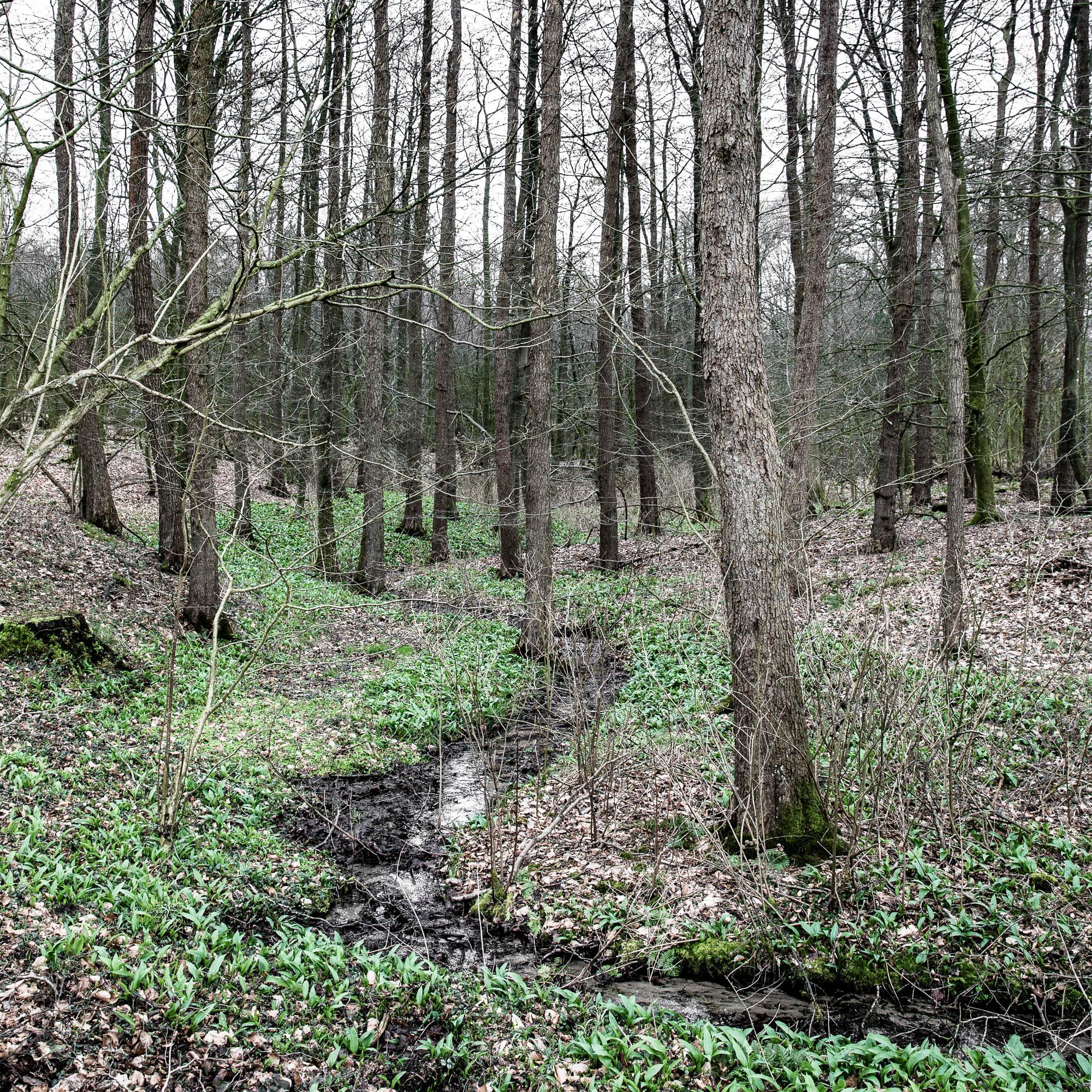 Erstes zartes Bärlauchgrün im graubraunen Frühlingwald - veggielicious | gemüse. fotos. rezepte.