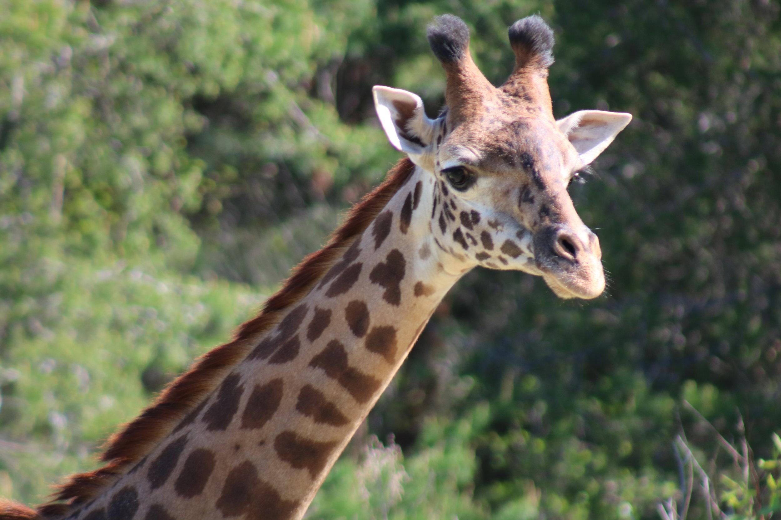 Giraffe.Chad.creditZooNewEngland.JPG