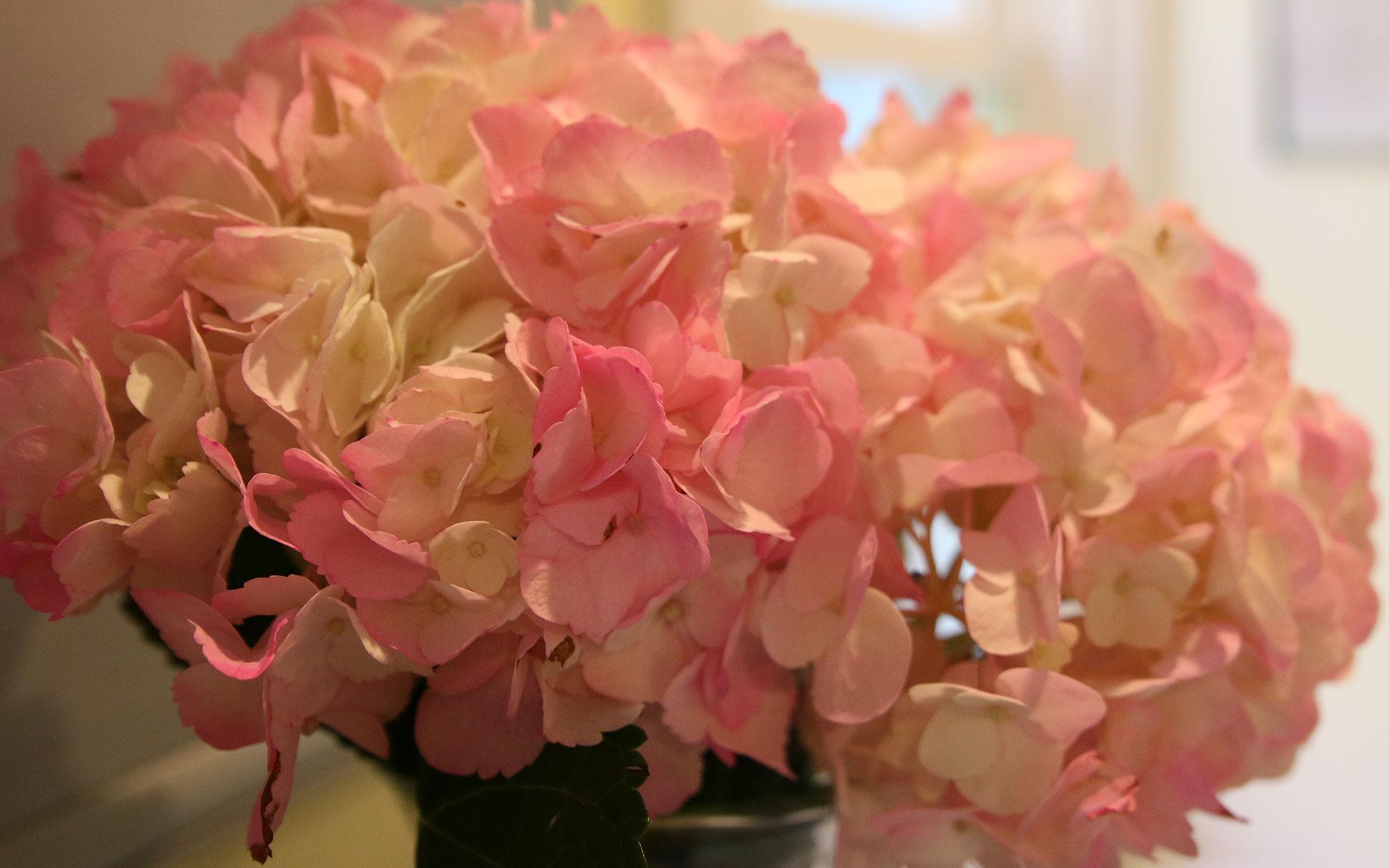 Pink-Hydrangea_IMG_7621.jpg