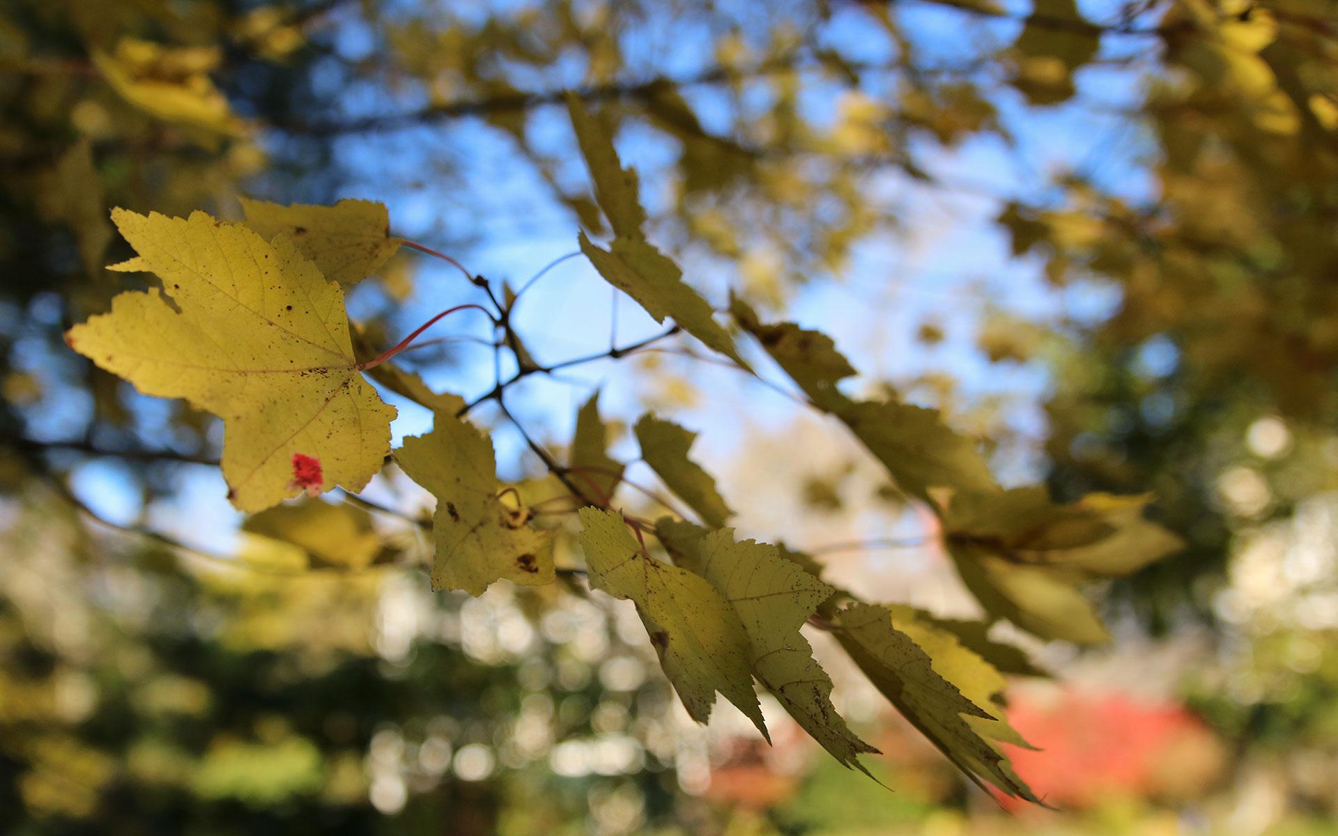 Yellow-leaves_IMG_7657.jpg