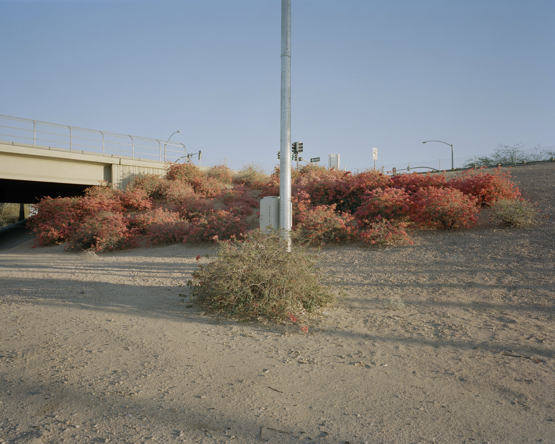 Untitled (Highway Bougainvillea)  - © Anna Brody