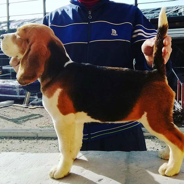 Http://www.beaglelamarca.it http://www.cuccioli-chihuahua.com