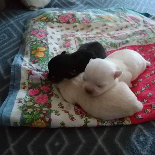 3 cuccioli femmina nati il 19 marzo disponibili a fine maggio con pedigree vaccinazioni microchip. info su http://www.cuccioli-chihuahua.com