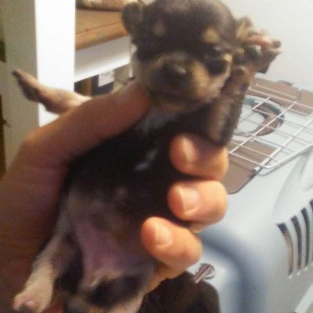 Info si http://www.cuccioli-chihuahua.com Http://www.beaglelamarca.it