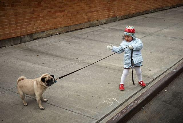 Don't be like this stubborn pug!  When your children or grandchildren try to talk to you about #COPD listen!  #KIDS4COPD #DOGS4COPD #PUGS4COPD #NIH #NHLBI #learnmorebreathbetter #copdawareness