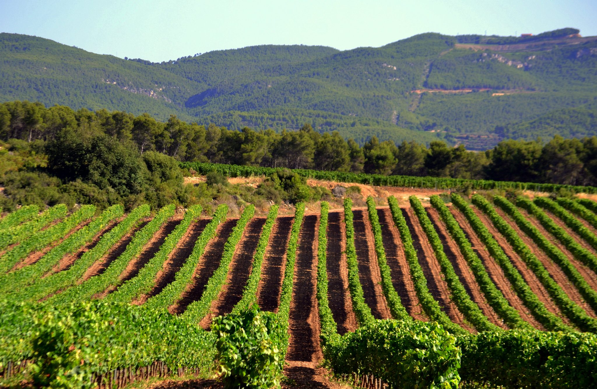 Maset_vineyards_3.jpg