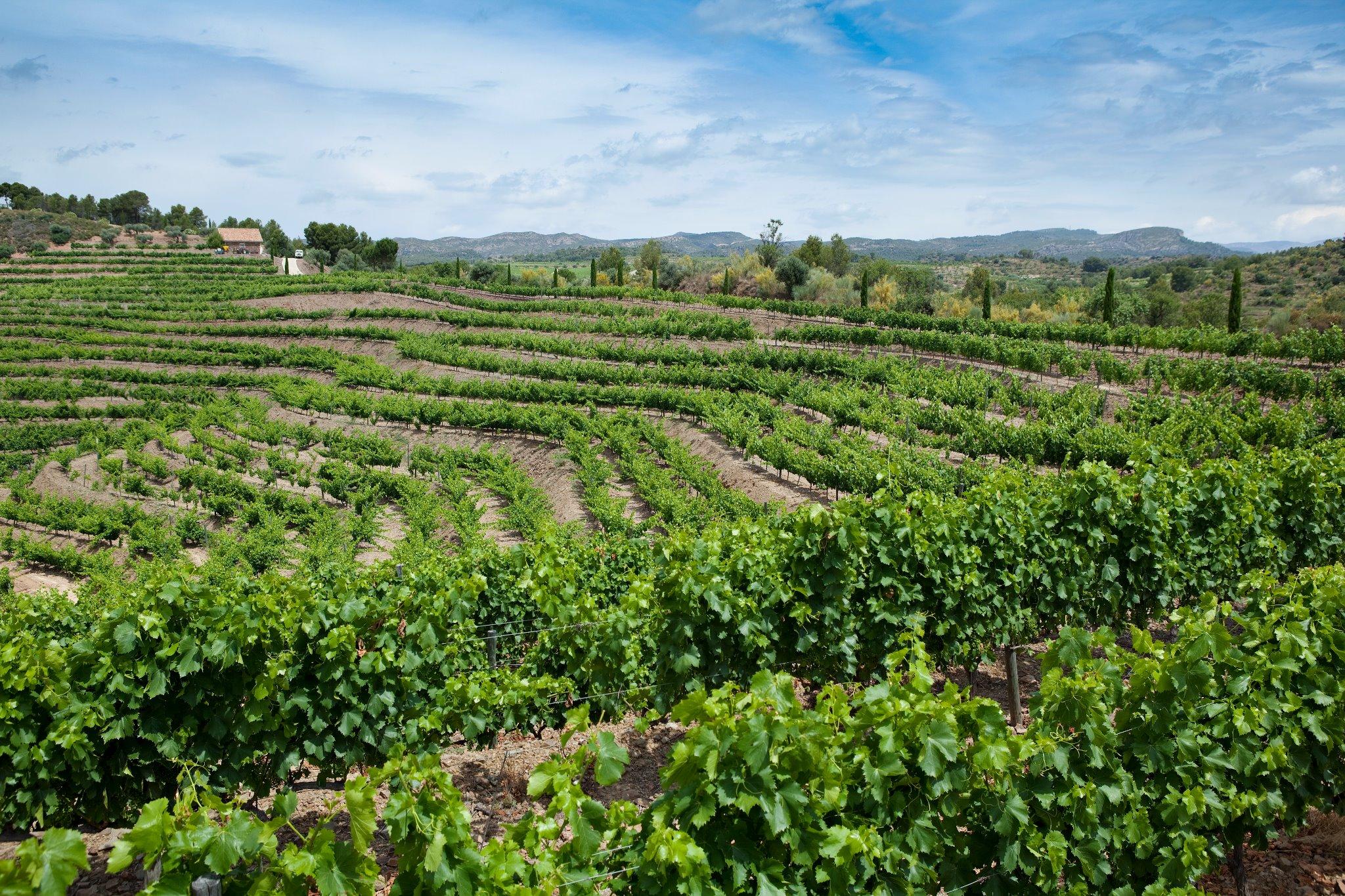 Maset_vineyards_4.jpg