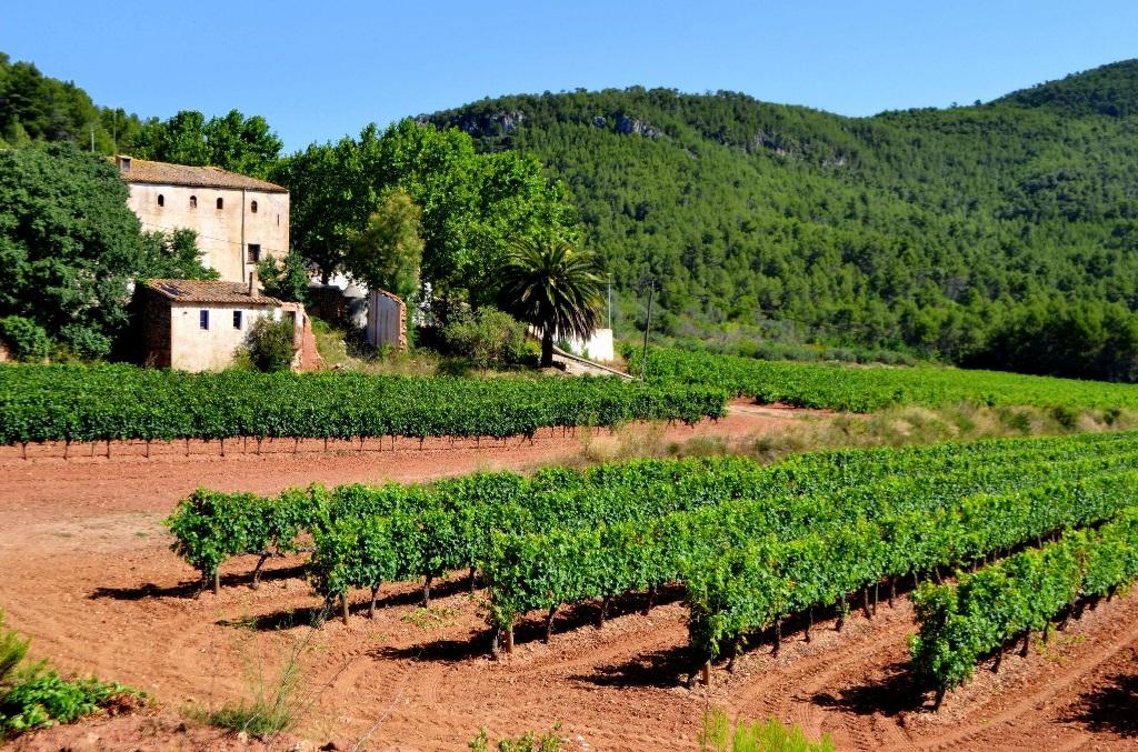 Maset_vineyards_1.jpg