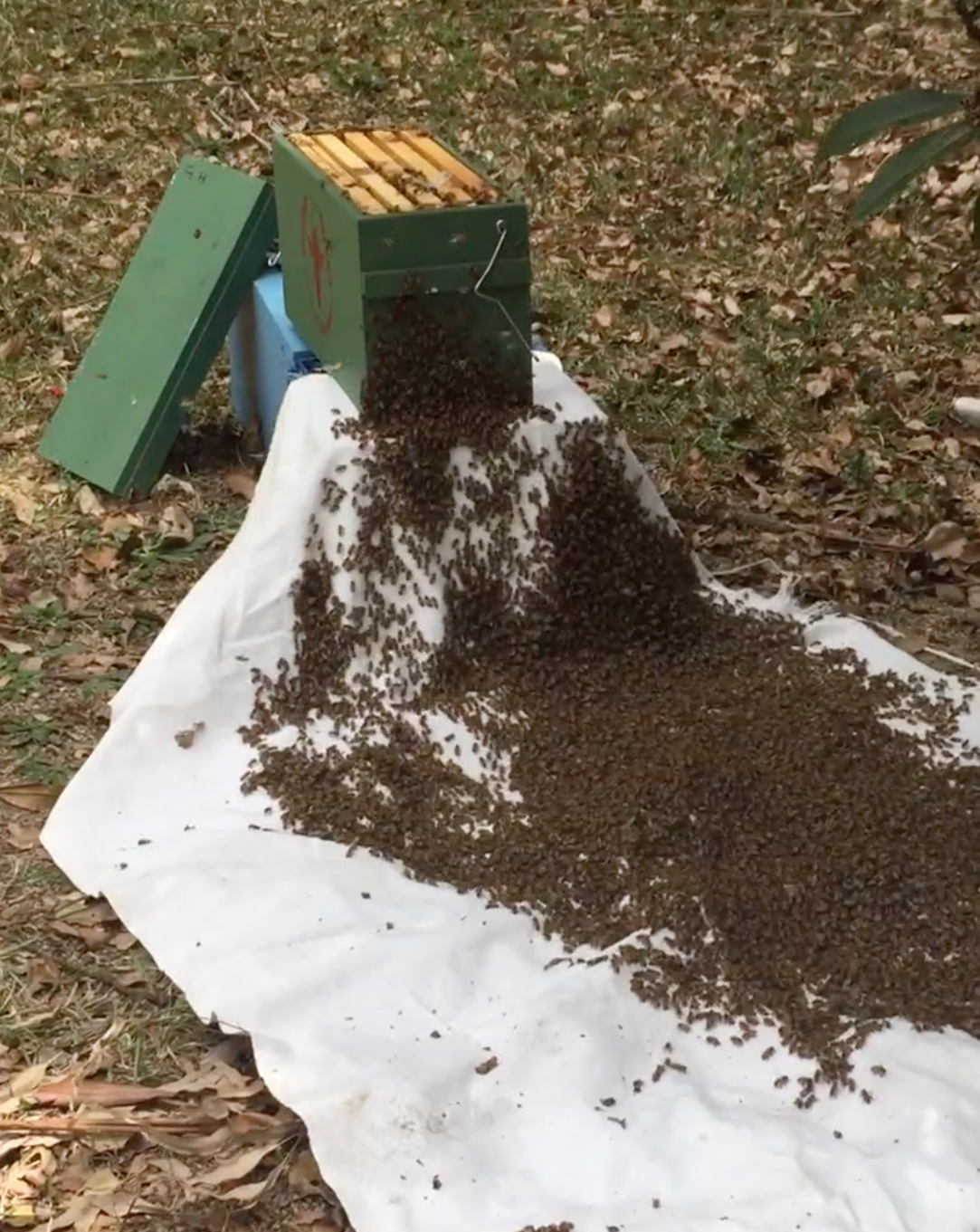The White Sheet Method  Watch the video of this swarm capture at Cooroy