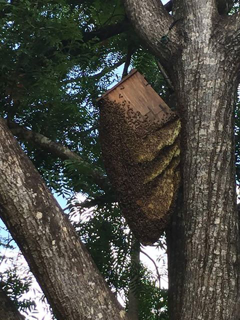 Huge beehive in and outside a bird box in Peachester image:  Brymac Native Bees