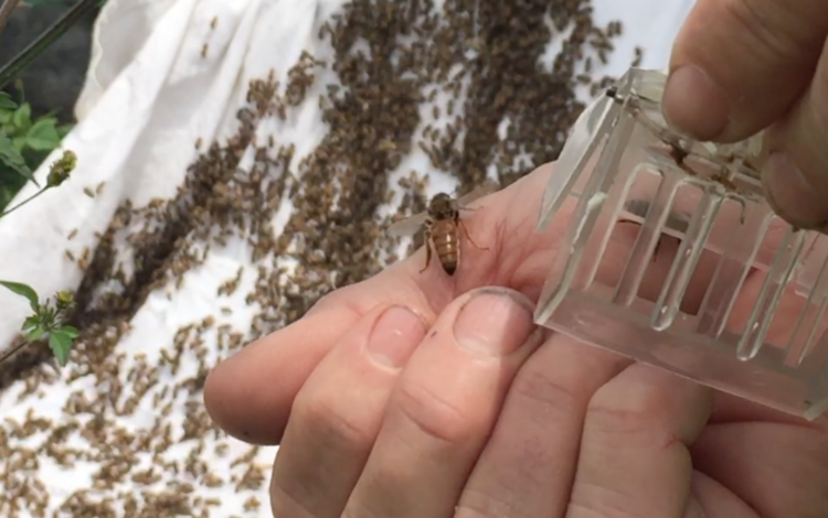 The Queen bee has a longer abdomen than a worker bee.