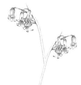 card - bluebell drawing2.jpg
