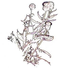 horsley hedgerows 4 single thistle.jpg