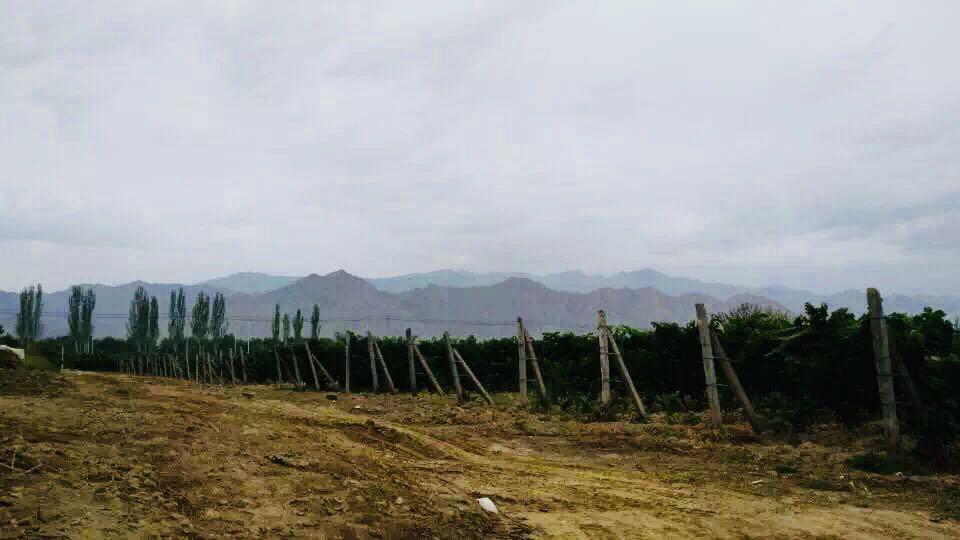 Ningxia Vineyards