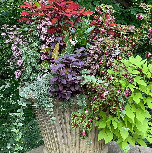 Annuals can do well in August, especially in the shade. Water them in the morning so the H20 doesn't evaporate and can seep to the roots 🌞. We love this planter of crewing coleus, potato vine, polka dot plant (hypoestes), and alternanthera by a Tilly designer 🙌 . . . #tillydesign #loveyourlandscape #online #remotedesign #landscapedesign #landscape_love #landscapearchitect #backyard #yard #plantsofinstagram #plantsplantsplants #greenthumb #plantstagram #planters #august #summerheat #heatwave #westchester