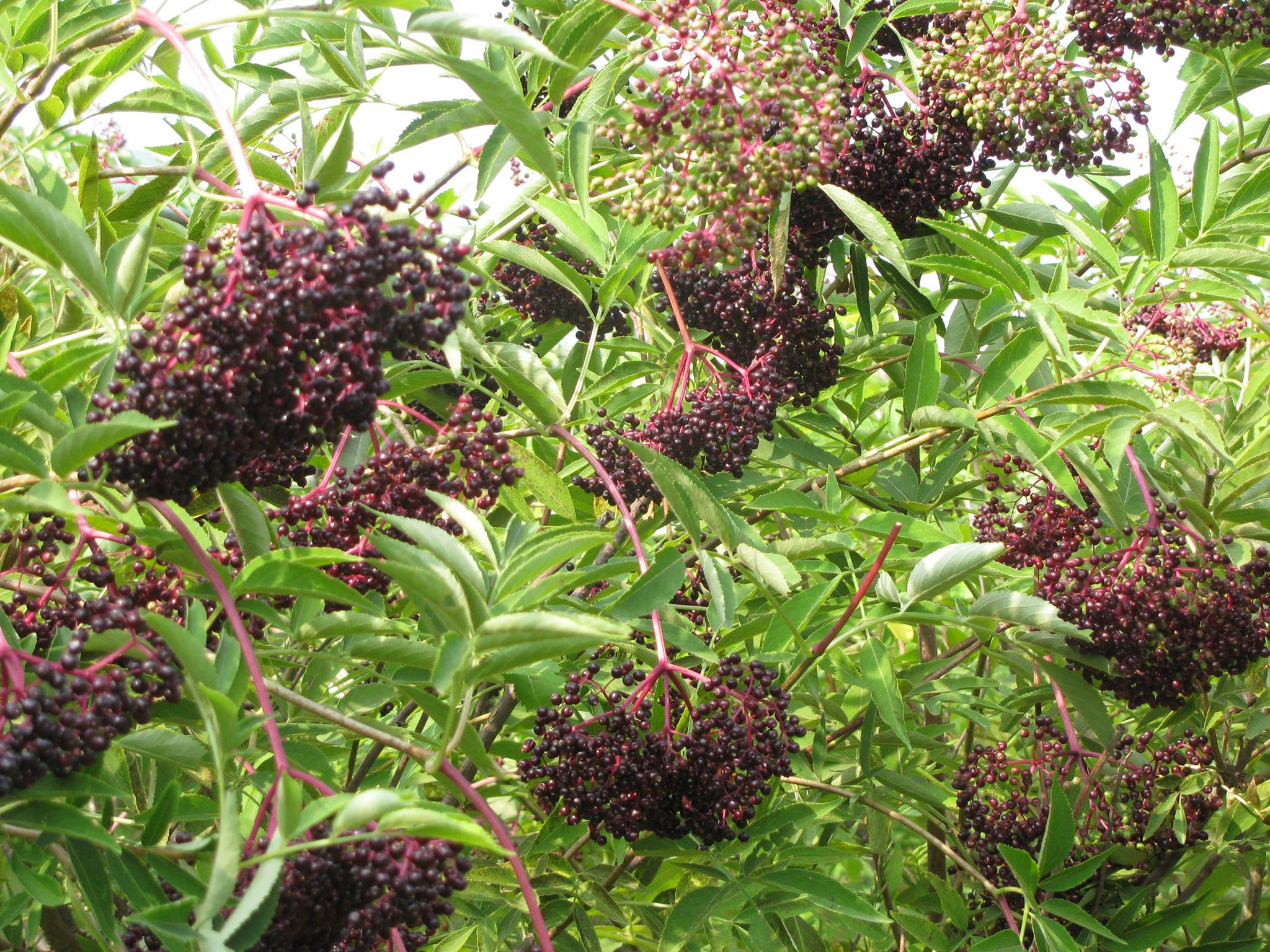 elderberries 1.jpg