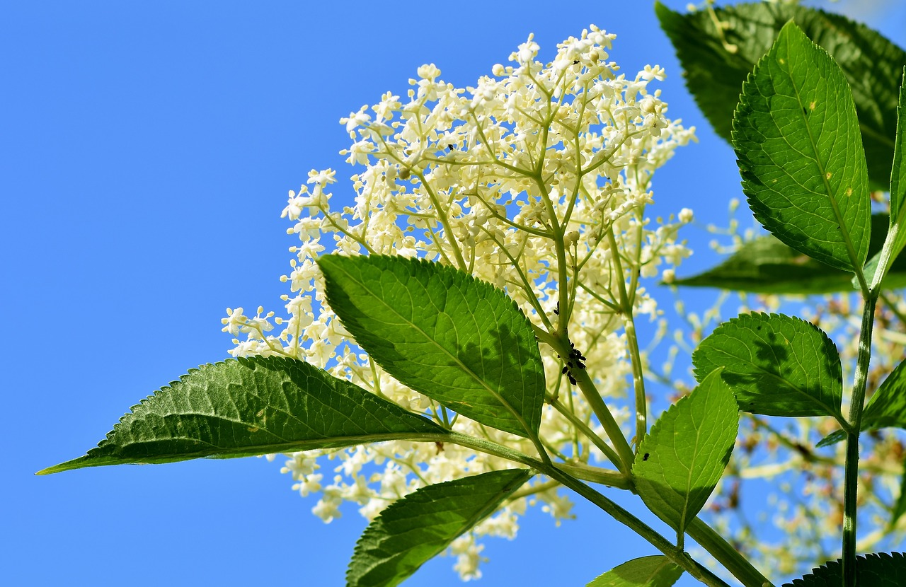 elderflower 2.jpg