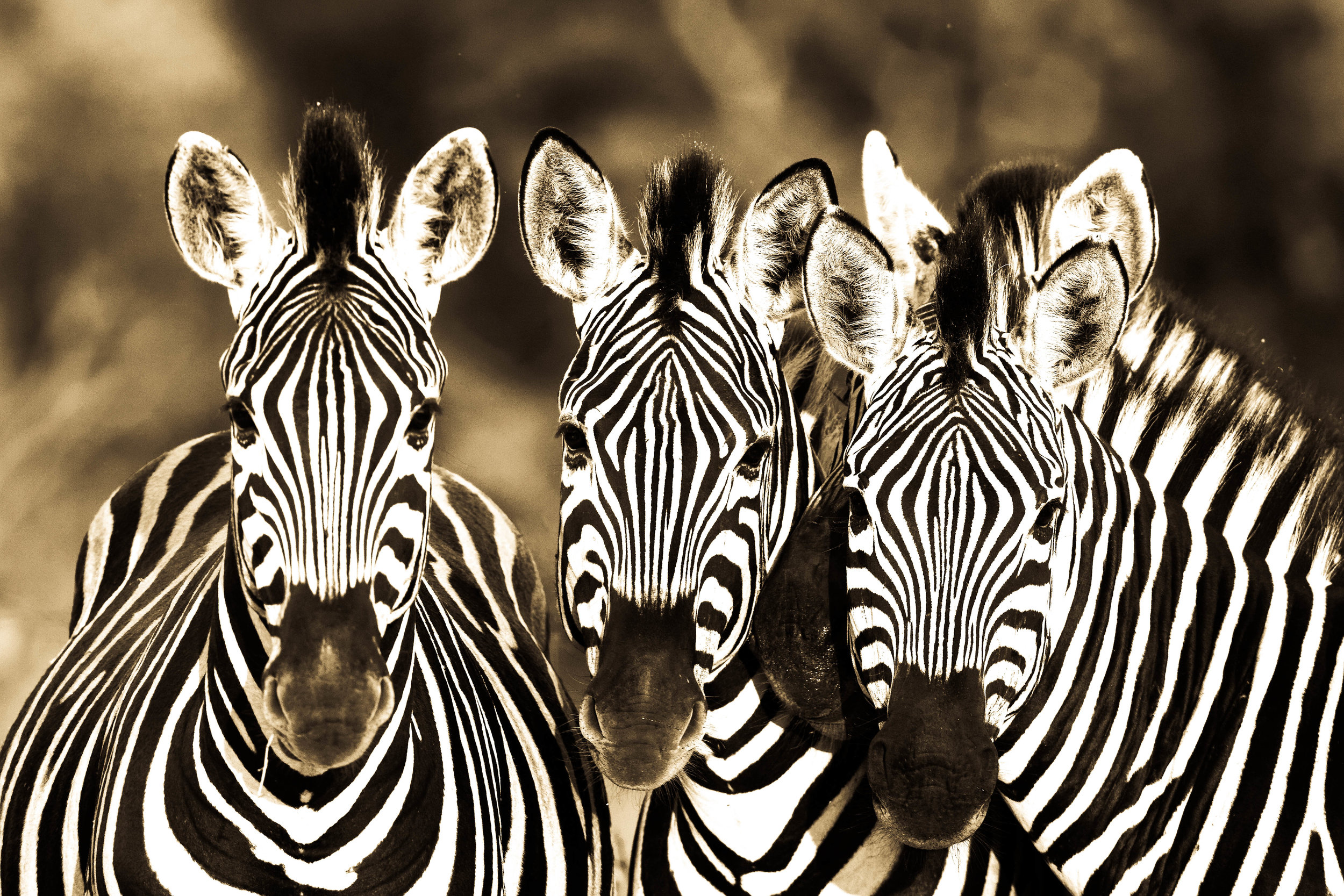 RM – Photography – Wildlife – Zebras.jpg