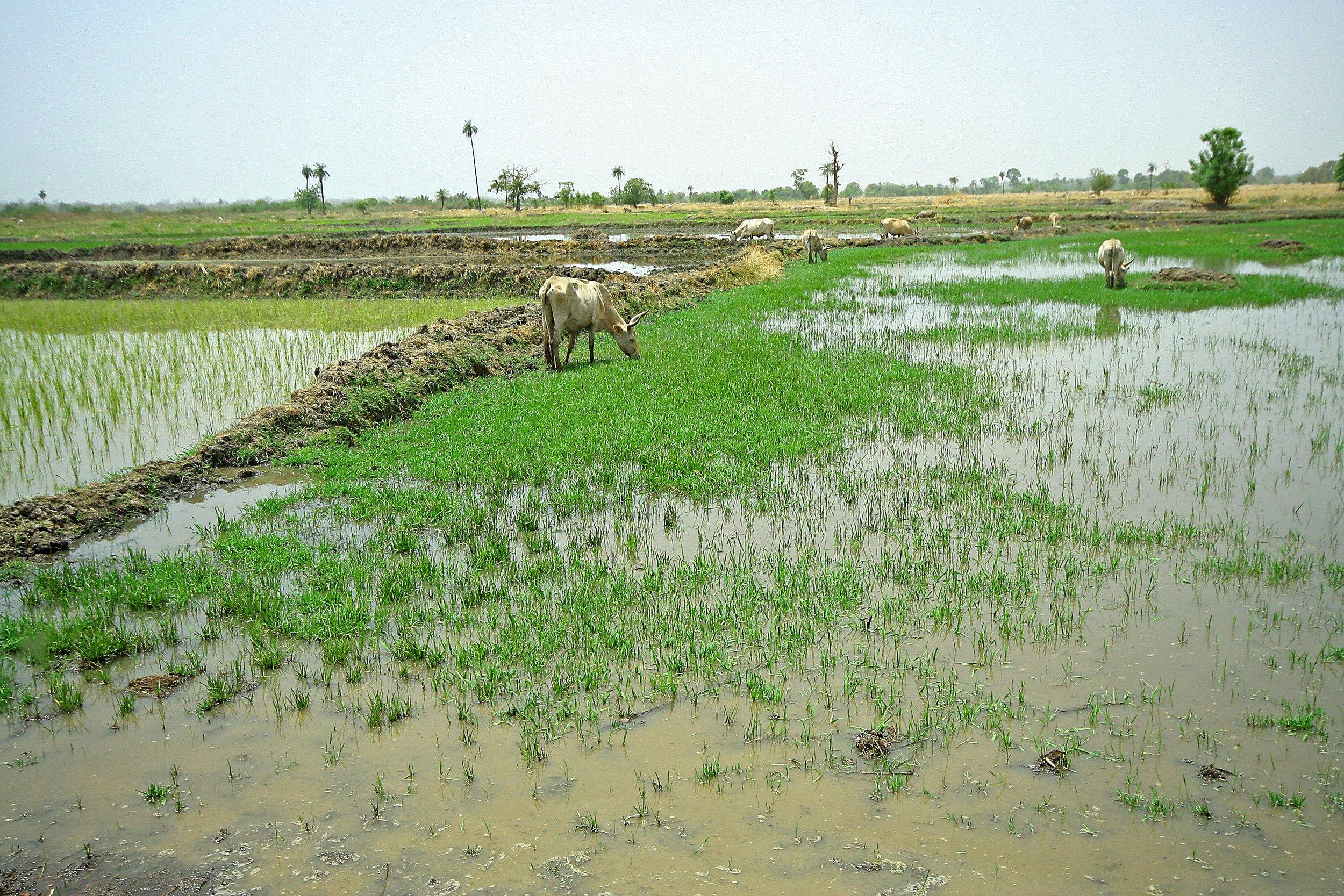 ricefield02.JPG