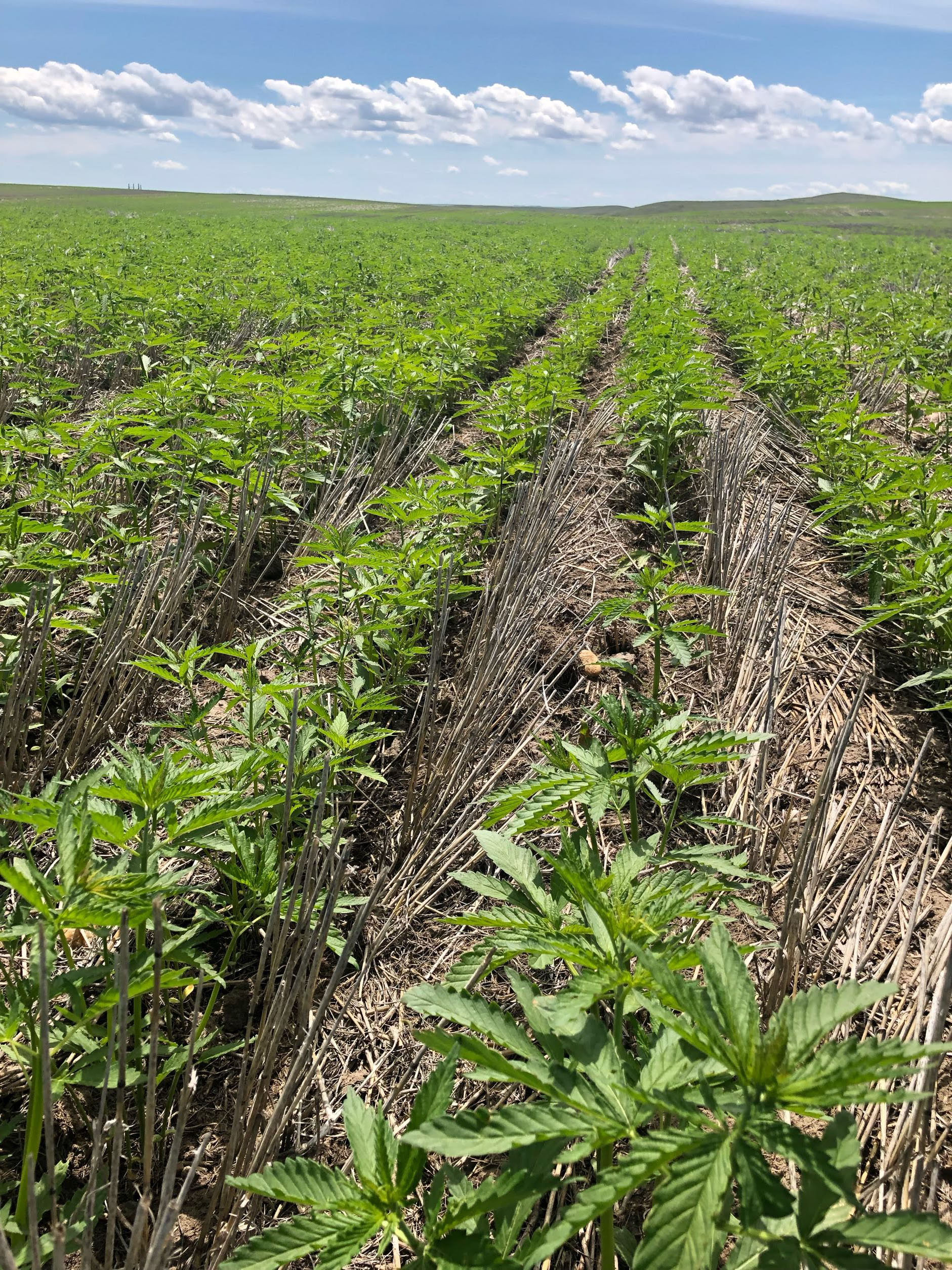 Hemp field up by Wolf Point, MT planted into a no-till field