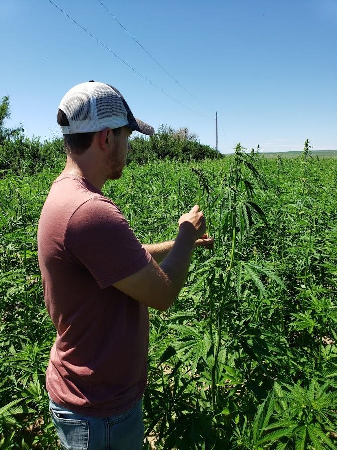 Summer intern Carter Way inspecting hemp fields near Wolf Point, MT