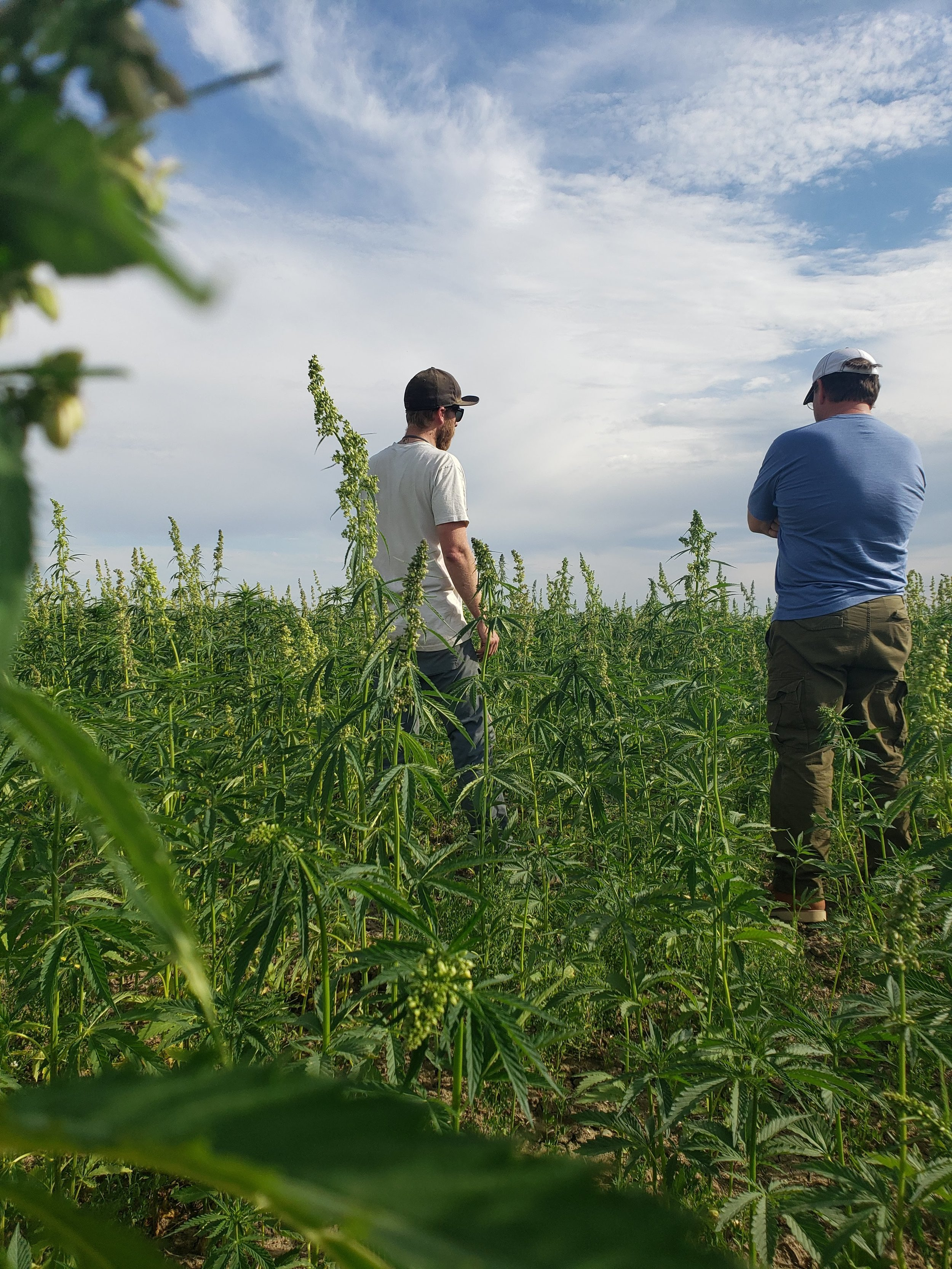 Farmer Cary Kolstad shows IndHemp owner Ken Elliott around his field. Plants are just shy of 8 weeks old.