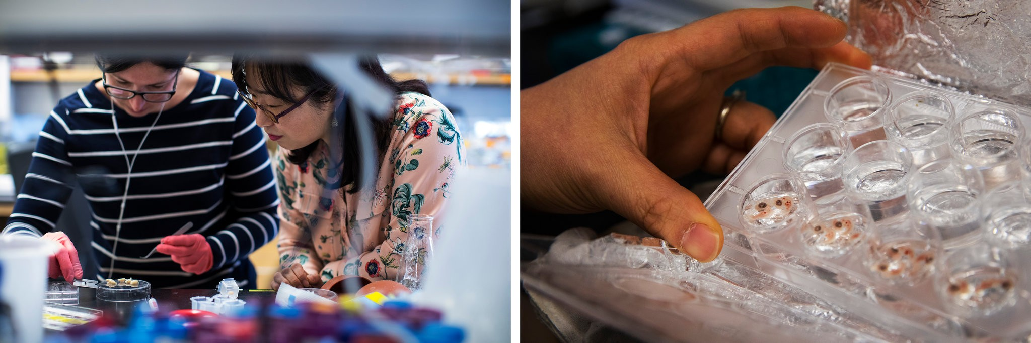 Left, Soo-Kyung watching a postdoctoral fellow with mouse brains in her lab at OHSU. Right, examining chicken embryos. She has begun aiming her research at understanding Yuna's brain disorder.CreditRuth Fremson/The New York Times