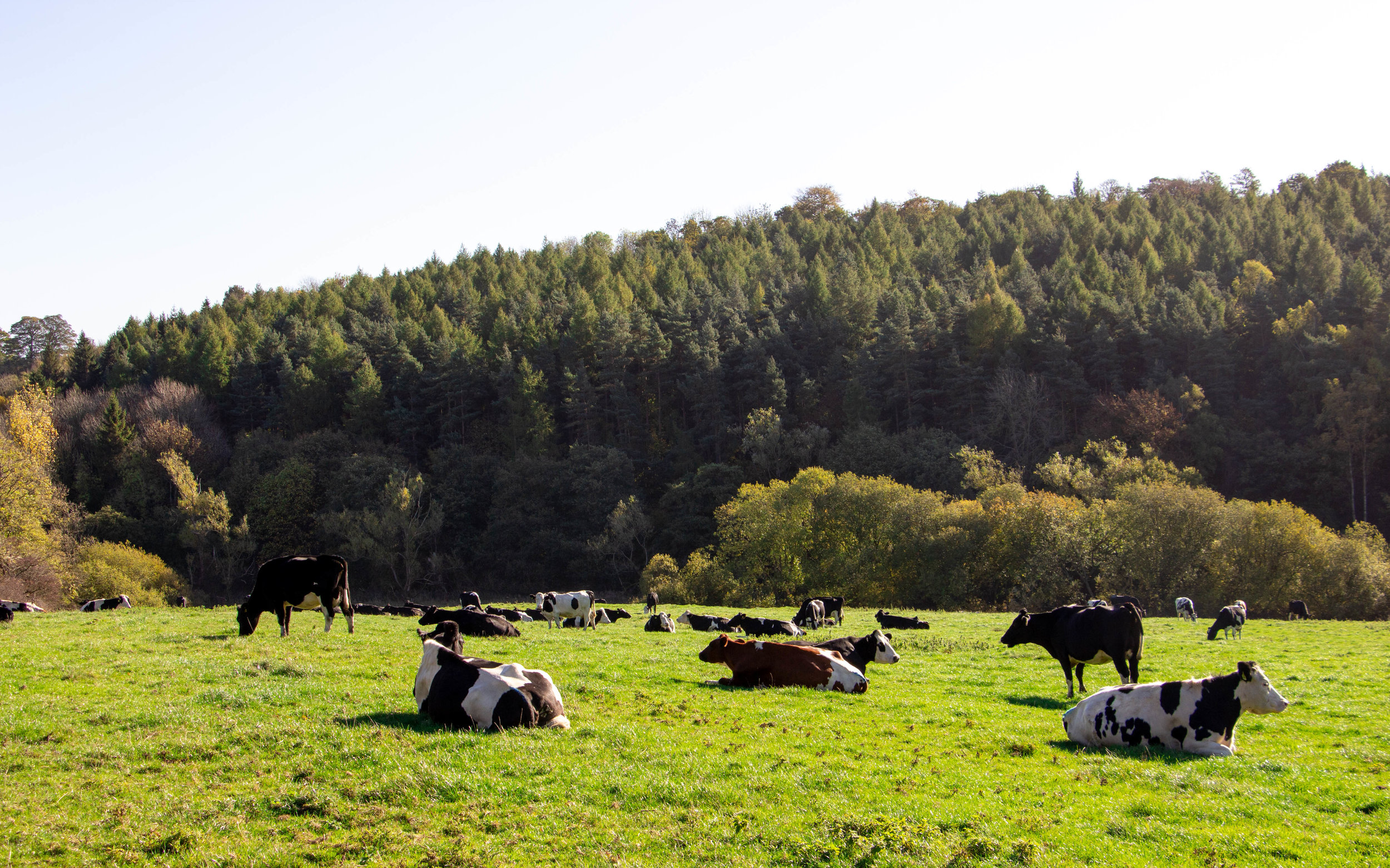 COWS FOREST NEW.JPG