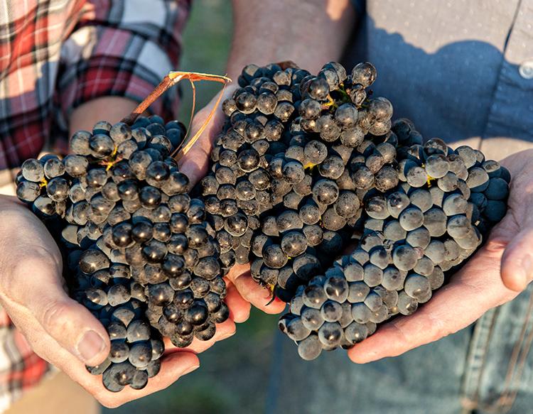 andanté-vineyard-about-area-grapes-horizontal.jpg