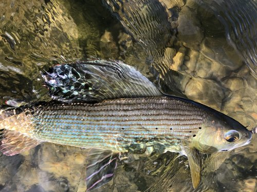 """GRAYLING - Grayling (Thymallus thymallus) are widespread in Mongolia with five distinct grayling morphs including: Arctic (Thymallus arcticus), Gold-tailed in the North, Mongolian or Giant Mongolian (Thymallus brevirostris) in the western Altai Mountains, Black or Hovsgol (Thymallus nigrescens) endemic to Lake Hovsgol, and Amur (Thymallus grubii) in the eastern Amur River drainage. In their specific range they're abundant at certain times of the year as they congregate and are easy to catch. Mongolian grayling are omnivorous but sometimes also predatory. Their age, size, and weight vary greatly according to species genre, habitat, and ecological conditions. Several of their ranges are severely restricted and limited to a lake and or connected lake riverine system.Grayling are wonderfully fun to catch with a light fly rod, especially on the surface. They hold in much deeper water than trout and will charge to the surface with great quickness to attack even the smallest of flies. There isn't much in your fly box they won't eat up to and including mice patterns on top and fairly large streamers proportionate to their body size down.The diversity and size of Mongolia's grayling is astonishing. There were three species in the watersheds we fished: mostly Gold-tailed but a few Arctic and Hovsgol. Two of Mongolia's species really stand out, namely the Gold-tailed for their vivid and unusual coloring. There is virtually no recorded data on this morph. Secondarily is the Mongolian, for its great size, as it gets to over 85 cm. and rumored to even much larger, the largest on our planet. Dr. Robert Behnke, the renowned fisheries biologist, stated Arctic char attain a maximum length of 30"""" and a weight of 8.4 lbs. When we first saw a photo of a large Mongolian grayling specimen with its dorsal fin compressed it took us a while to recognize what it was.In many types of water it is possible to take as many grayling as you want, on almost every cast. The same might have also been """