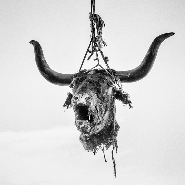 Firebaugh, CA. Dead bull's head hung to dry. Firebaugh is a city in Fresno County, California. The population is 7,549 and 34.9% live below the poverty level.