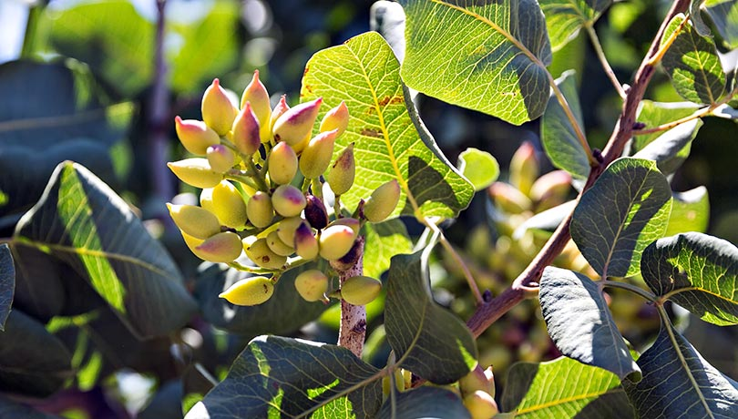 Pistachio Harvesting - As the California Pistachio industry continues to grow and mature, ENE remains committed to addressing the challenges that growers face.