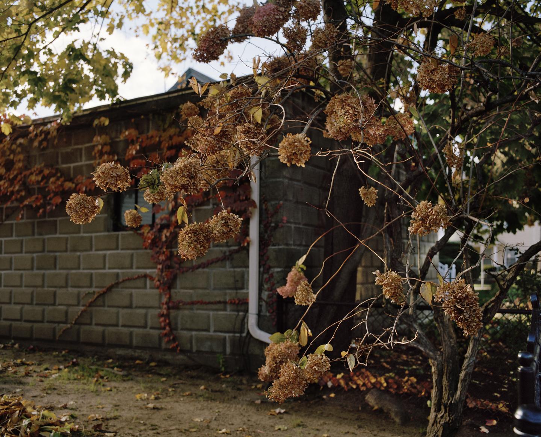 Drooping Hydrangeas, 2013
