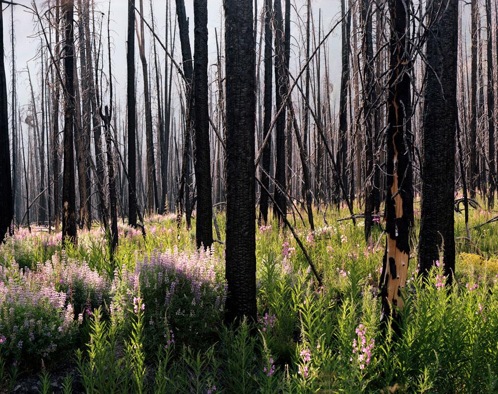 07_midsummer_lupine_and_fireweed.jpg