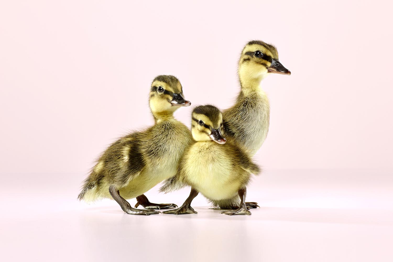 David_Arky_Dawn Ducklings-3410.jpg