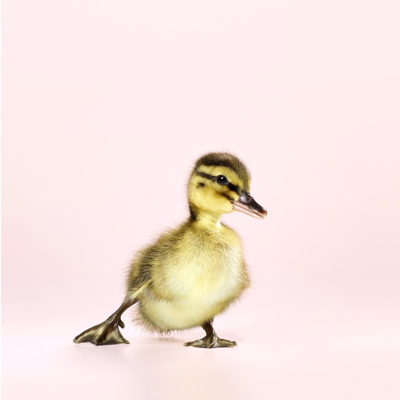 David_Arky_Dawn Ducklings-3116.jpg