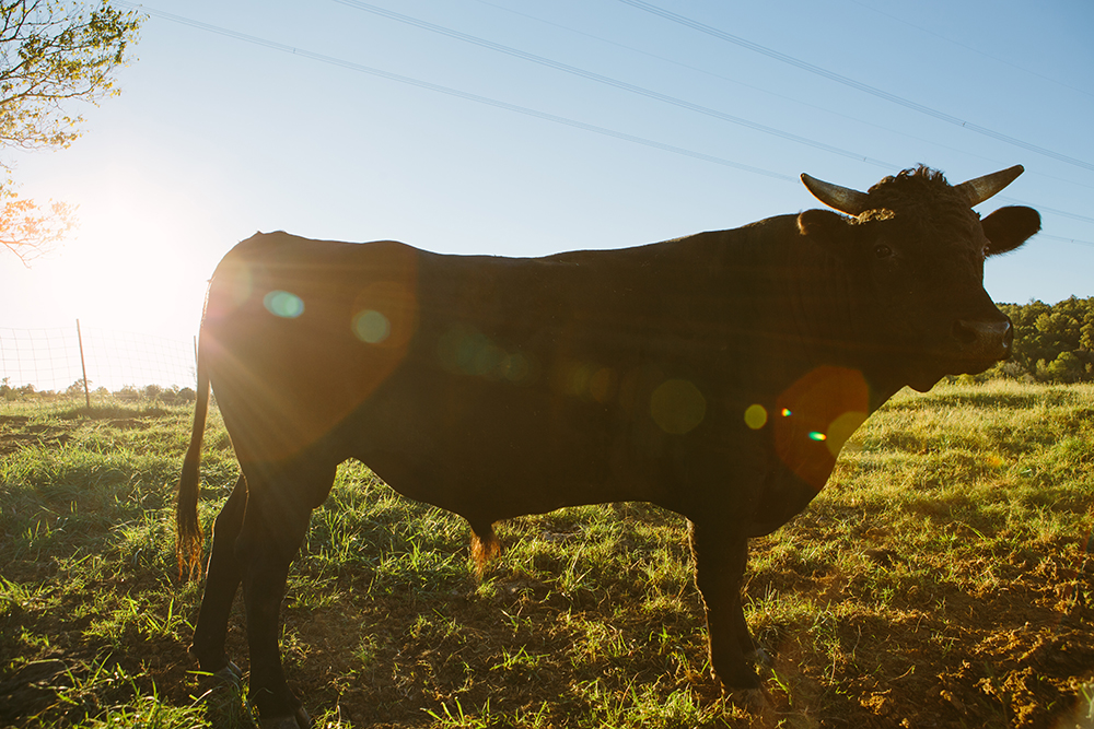 TENNESSEE BRED - we know every animal in our closed herd Personally