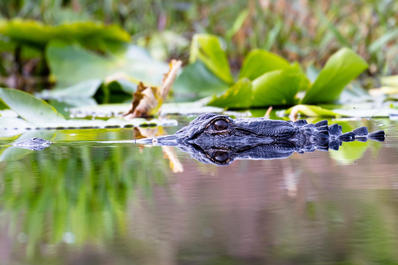 Submerged Alligator