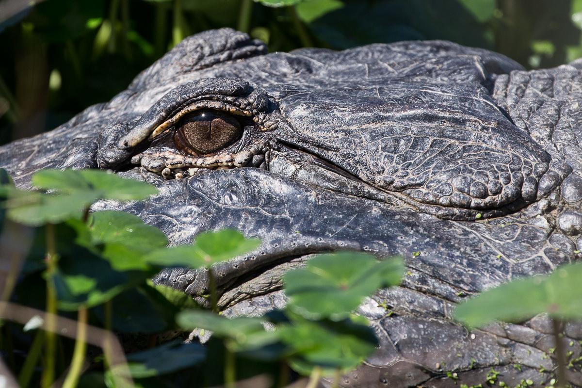 The magnificent American alligator