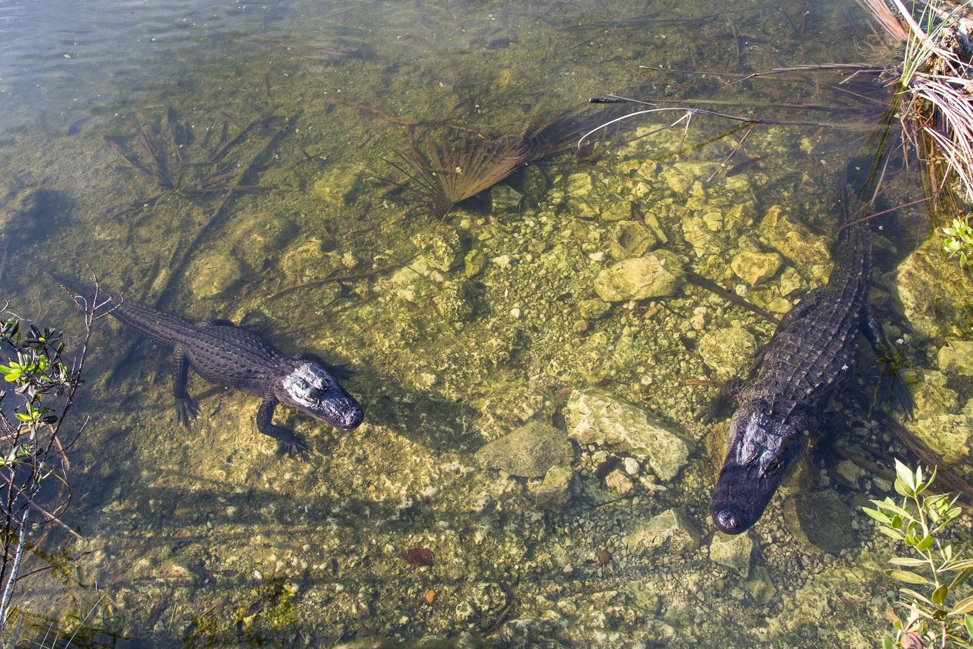 Alligators appear to be begging