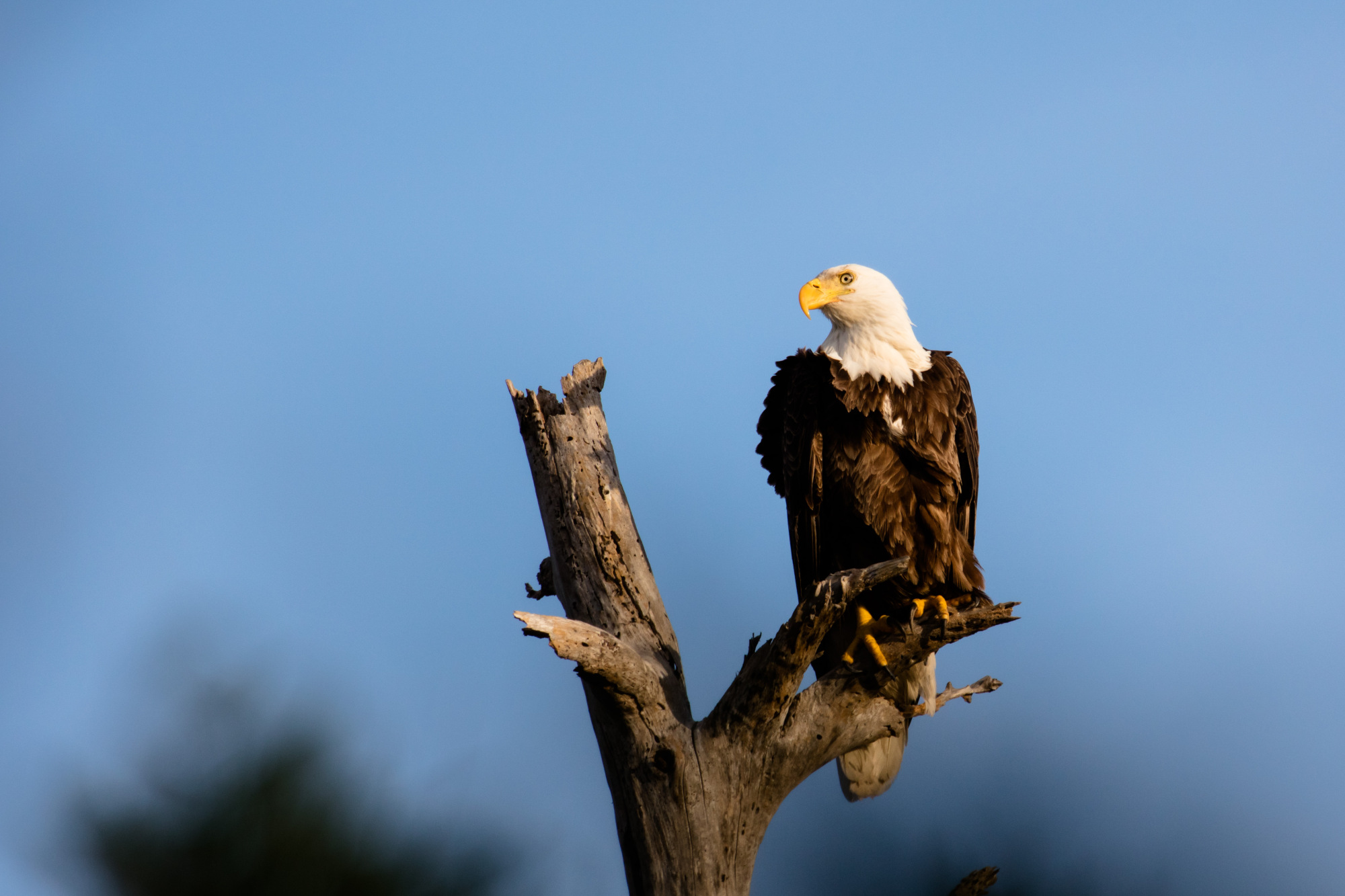 bald eagle by  Barry Scully