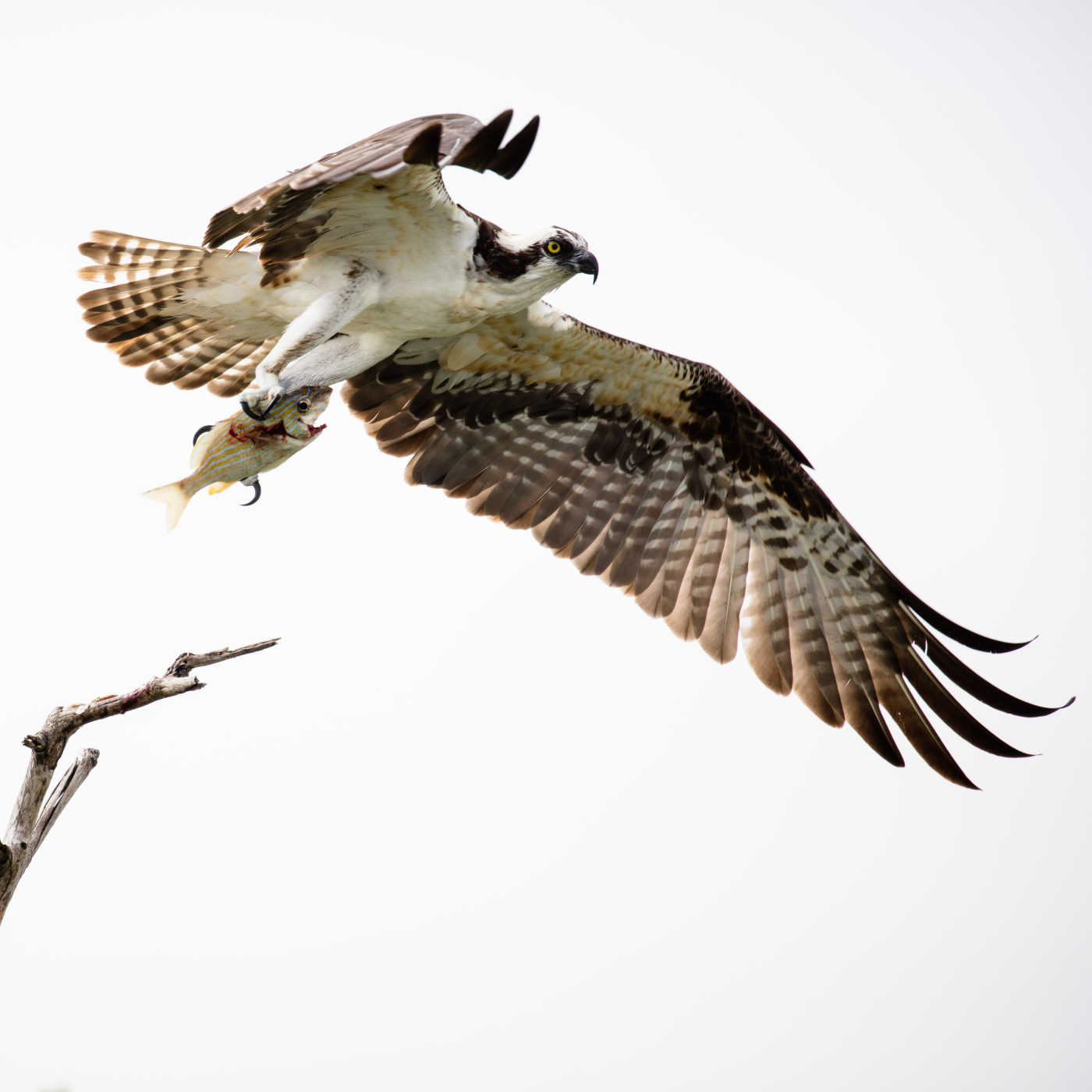 fishhawk photo by  Barry Scully