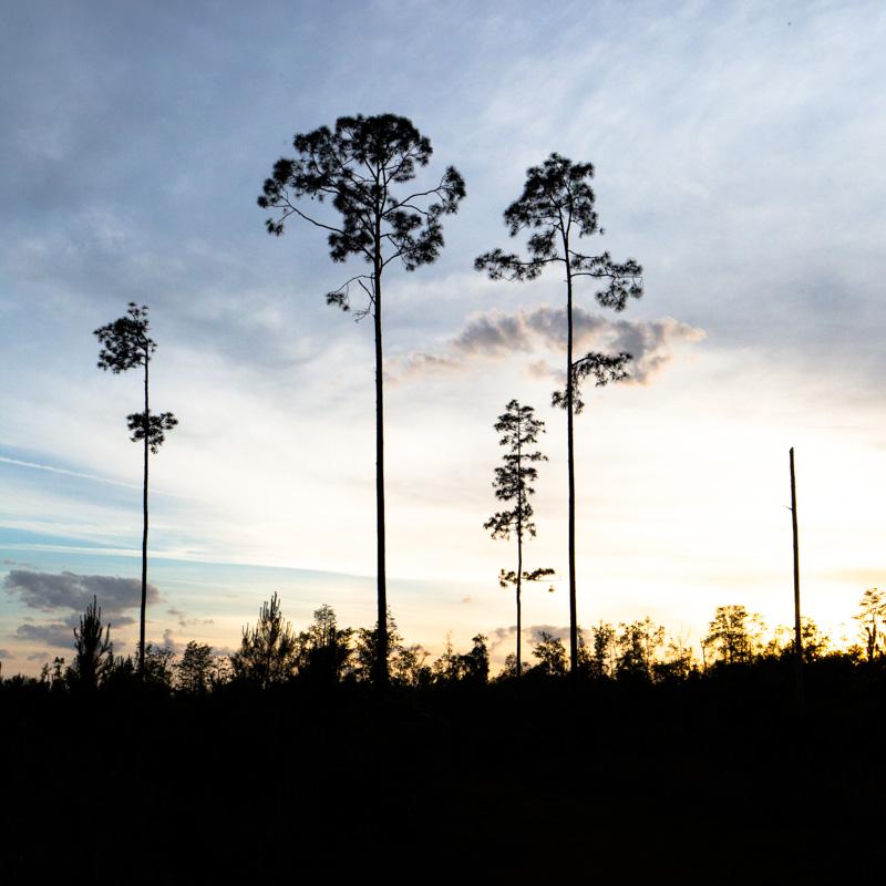 sunset behind long leaf pines